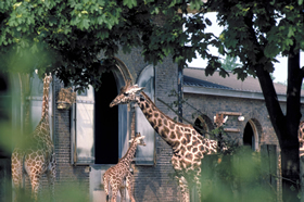 Giraffes at London Zoo